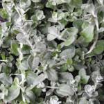 Helichrysum Nanum Silver