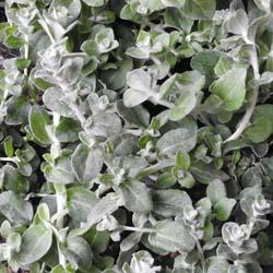 Helichrysum Grijs Fijnbladig