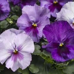 Delta Lavender Shades