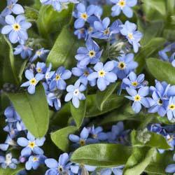 Mon Amie Blue