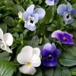 Lavendel Mix
