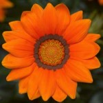 Big Kiss Orange