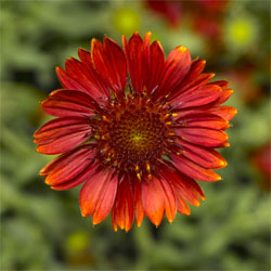 Gaillardia Barbican Red