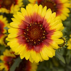 Gaillardia Yellow Red Ring
